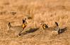 APC-9061: Prairie Chicken Stand-off