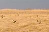 APC-9010: Prairie Chickens on Lek