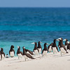 Brown Booby. Michelmas Cay, Great Barrier Reef, Australia