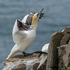 Northern Gannet, Cape St. Mary's Ecological Preserve, Newfoundland