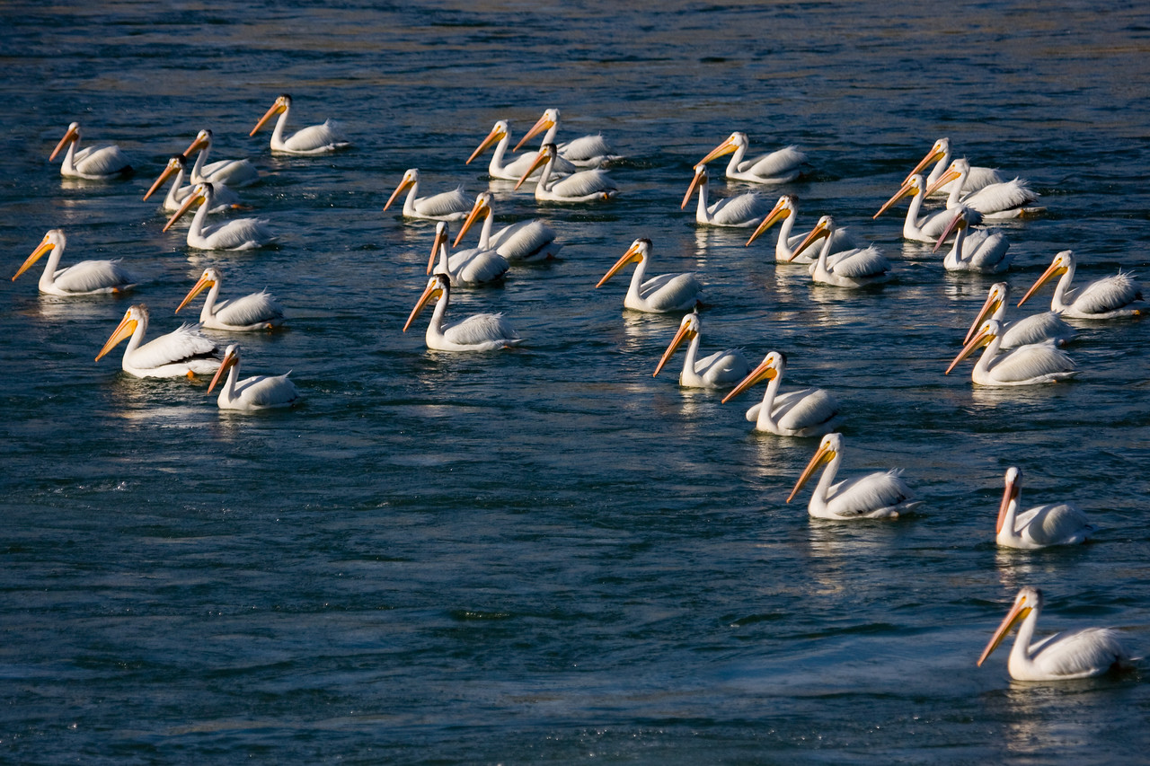 Pelicans just downstream from the Bow River weir in Calgary.