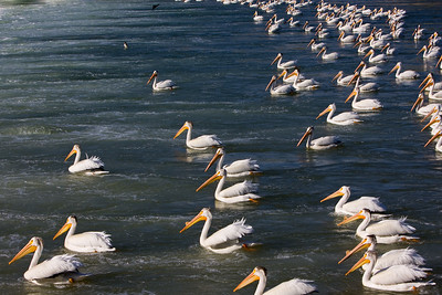 A large group of pelicans sit as they fish, just below the weir on the Bow River, as it runs through the City of Calgary.