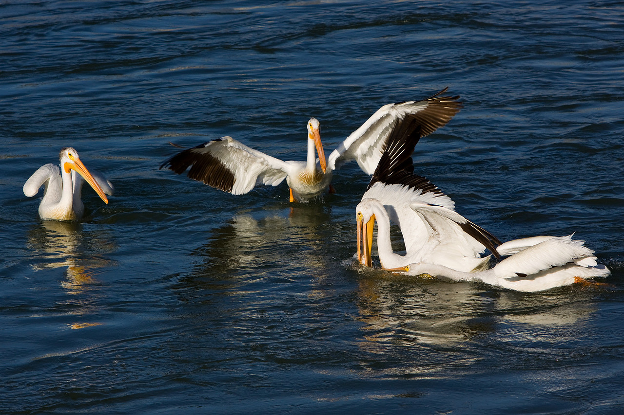 This pelican only partially gets the trout, and the mass wrestling for possession begins.