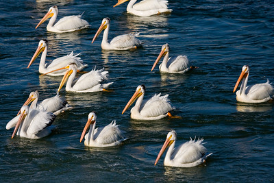 Pelicans watch for fish, just downstream from the weir on the Bow River, Calgary AB.