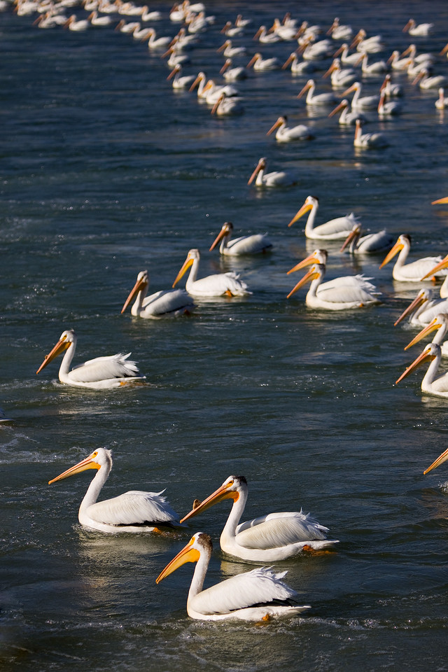 Another view of how many pelicans there are just below the weir on the Bow River in Calgary Alberta