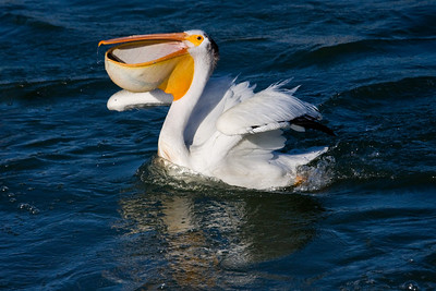It works quickly to orient the trout for swallowing, and to prevent other pelicans from stealing the fish!