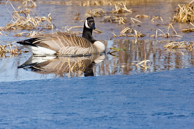 Almost as good as an ice-breaker... you can see the broken crust of thin ice around this goose as spring gradually makes it's way in and everything warms up.