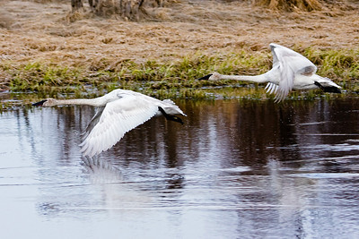 A pair of Trumpeter swans just after lift-off on their journey north.