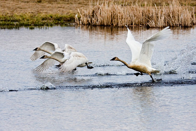 Group of Trumpeter swans taking off on their migration northwards.