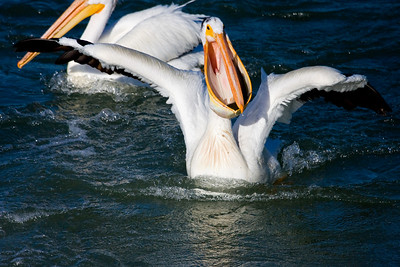 This pelican has caught itself a fairly good size trout.