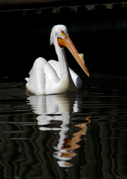 This pelican, with an almost bossy expression, was hanging out in Calgary, Alberta