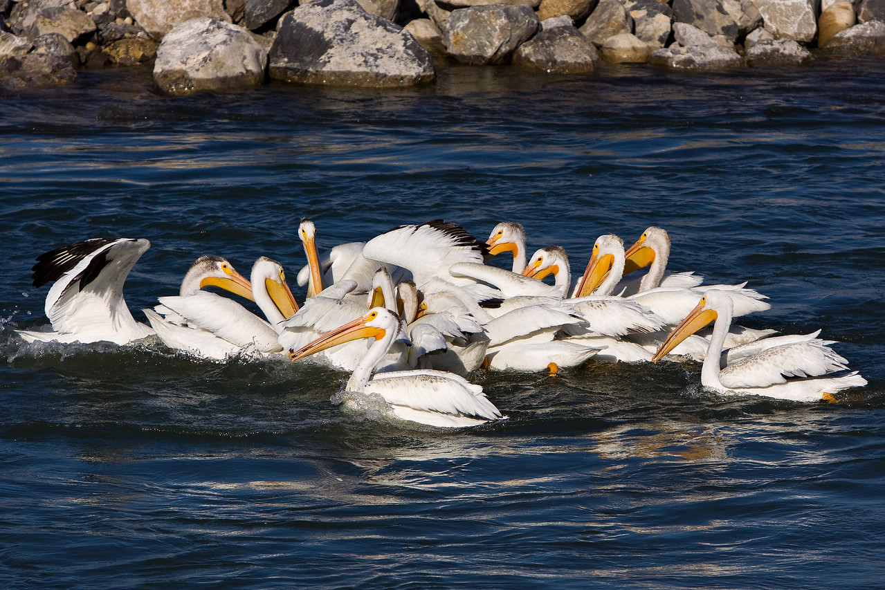 More and more pelicans pile on, trying to get a hold of that one single trout!  This group floated downstream with the current for quite a distance until one of them finally got (and swallowed) the fish.