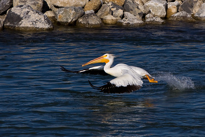 This pelican flies back to the main group after all that wrestling over a single fish.