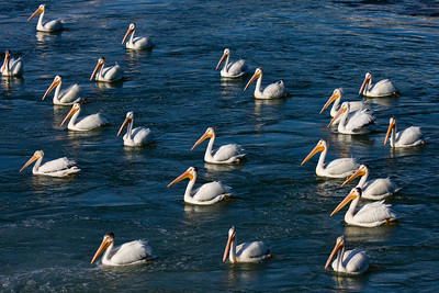 This group of pelicans is watching for fish. I've seen them the past several evenings, just downstream from the weir on the Bow River, Calgary AB.