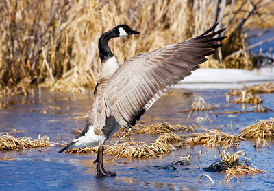 A Canada Goose standing on a frozen pond, does a little self-grooming....