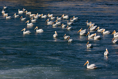 Group of pelicans fishing, downstream from the Bow River weir (Calgary, AB).