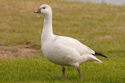 Geese, Swans