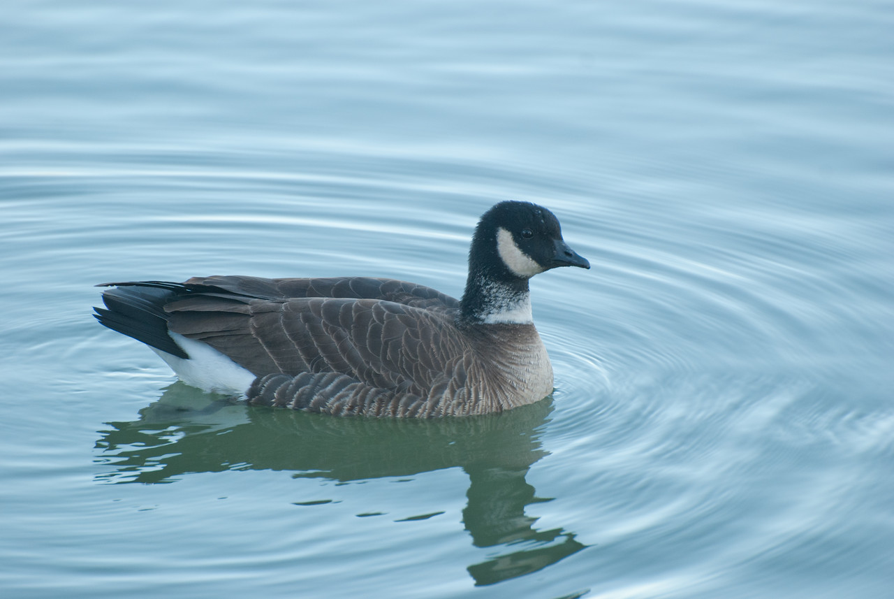 Canada Goose, sub-species Cackling