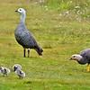 Upland Goose / Magellan Goose (Chloephaga picta)