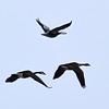 Canada Geese & Snow Goose (Blue Morph)