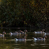 Greylag goose in the light of sunset