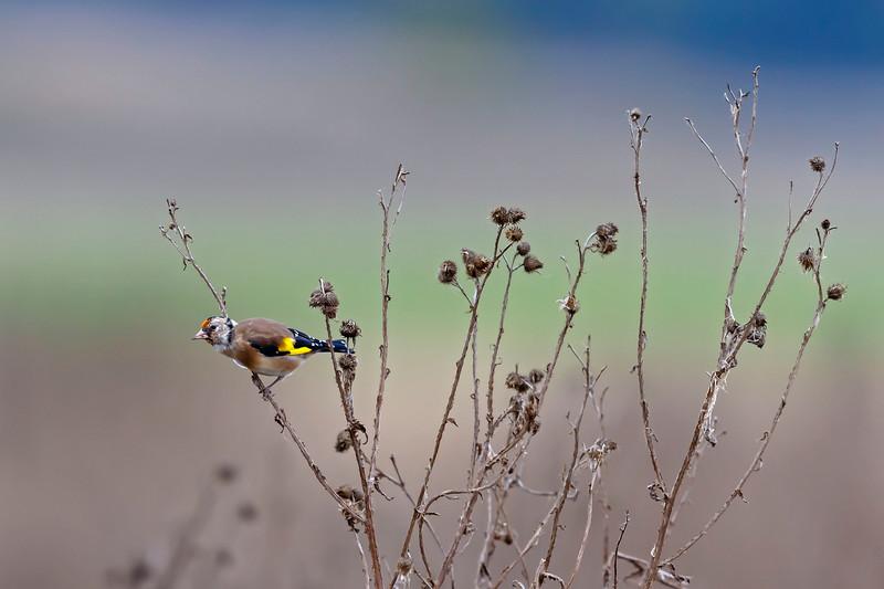 Steglits / European goldfinch