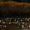 Greylag goose in evening light