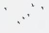 Geese flying over the Moose river at Moosonee.