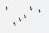 Small flock of geese over Moosonee.