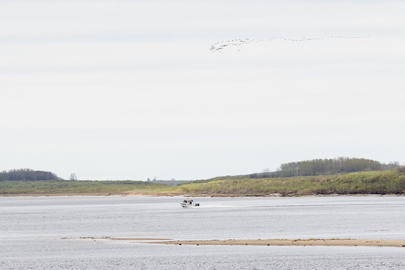 Police boat down the Moose River under a flock of geese.