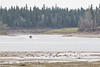 Taxi boat heads to Moose Factory passing geese on sandbar.