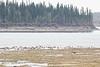 Geese on sandbar in the Moose River at Moosonee.