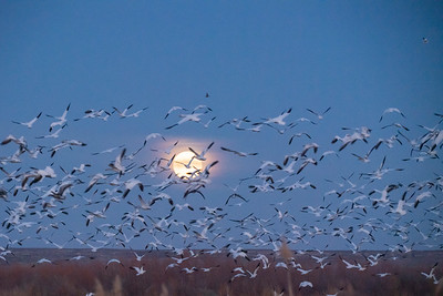 Super Moon Snow Geese