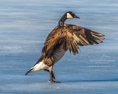 Goose Hokey Pokey
