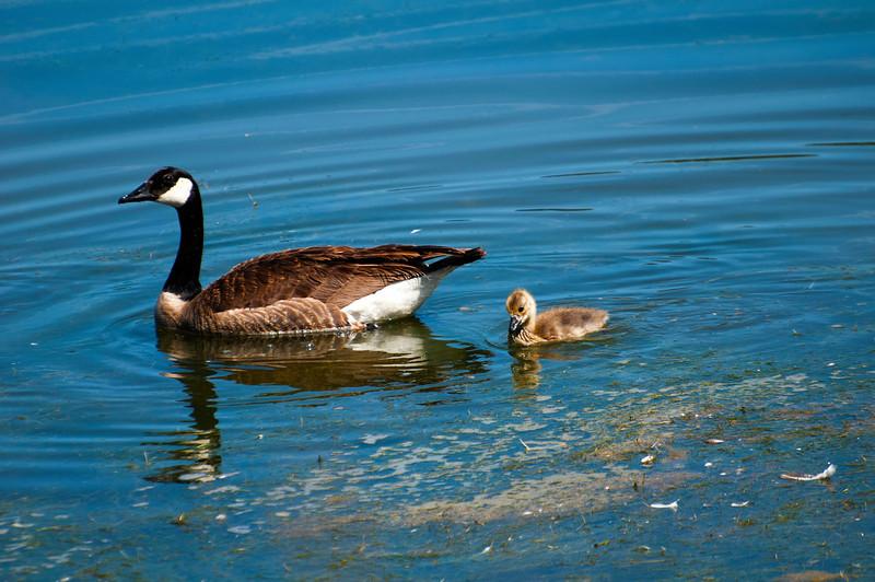 Canada Goose & Goslings