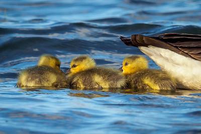 Canada Goose Gooslings