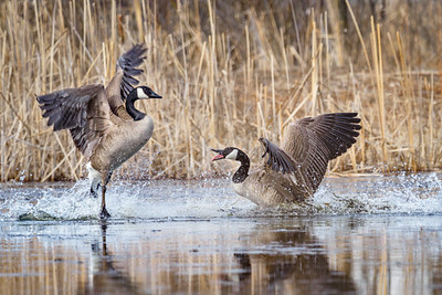 Goose Battle