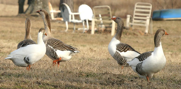 Taken with my Bigma Lens. Have some more Gooses. Haha!