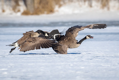 Battle of the Geese