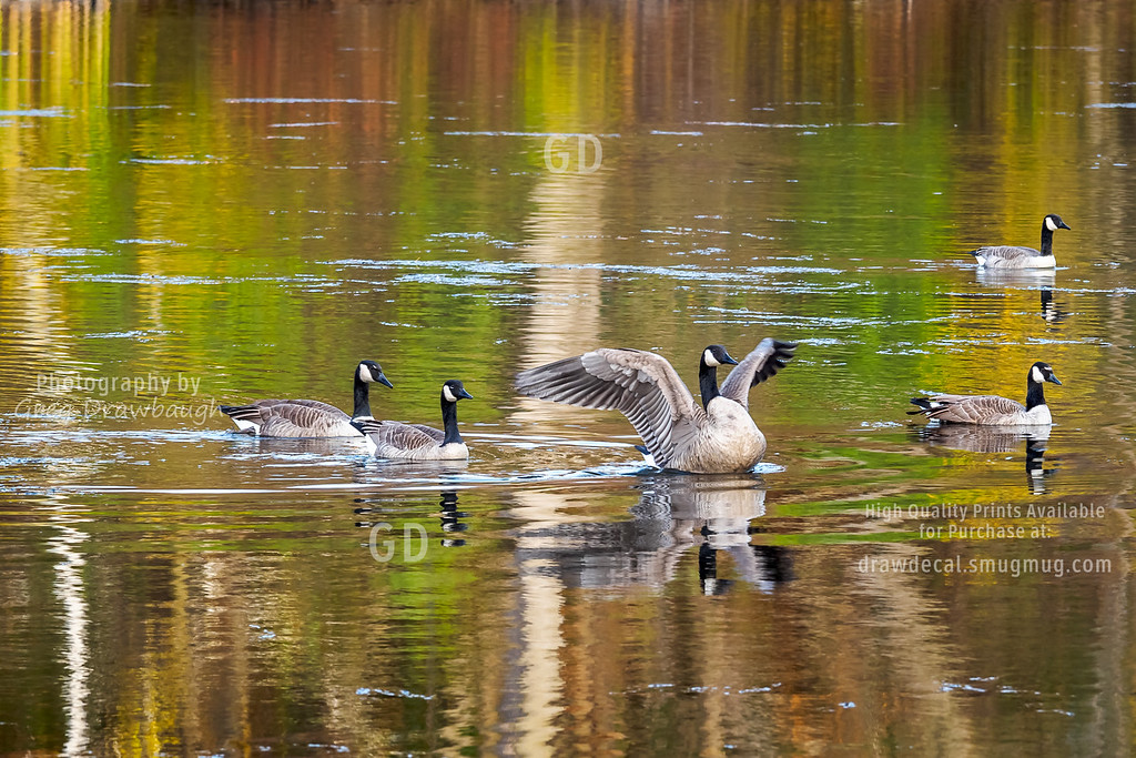 Canada Geese on Sucker Lake