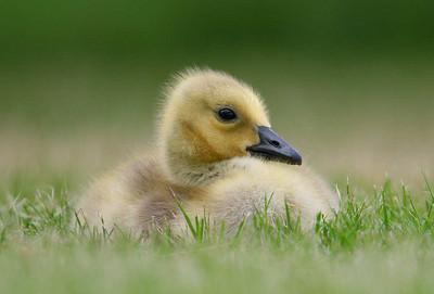 Geese/Gosslings