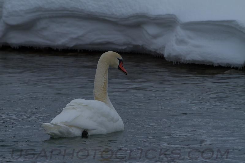 Mute Swan (b2303)