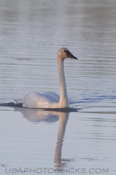 Trumpeter Swan (b2314)