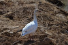 Snow Goose (b0743)