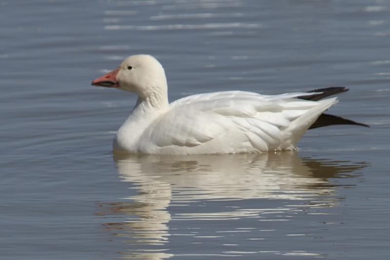 Snow Goose (b0742)