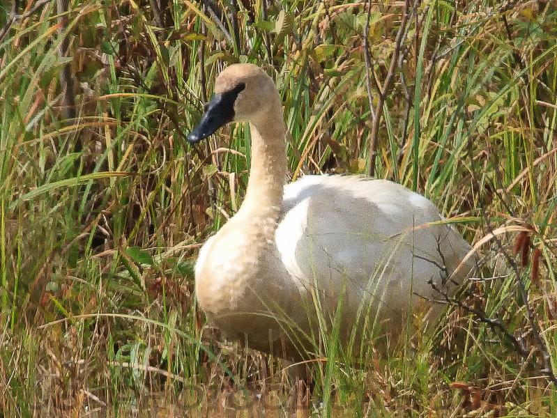 Trumpeter Swan (b2311)