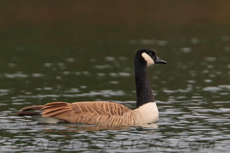 Canada Goose (0732)