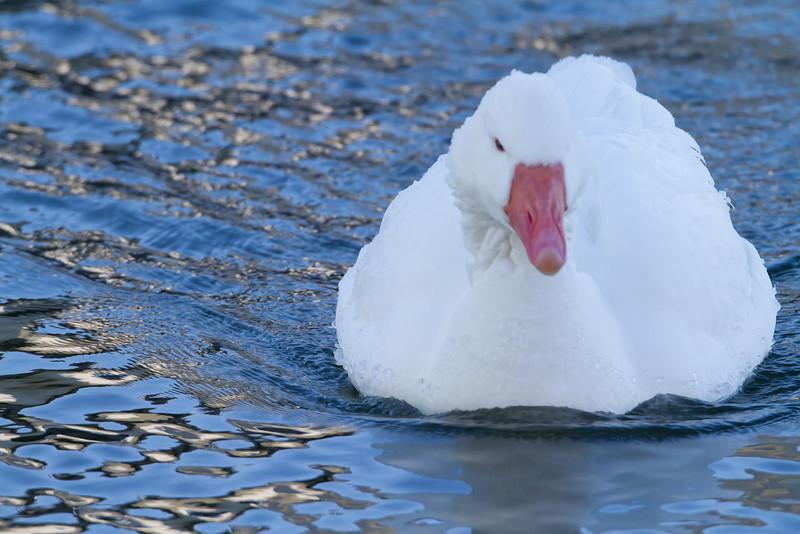 Ross's Goose (b3182)