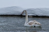 Mute Swan (b2302)