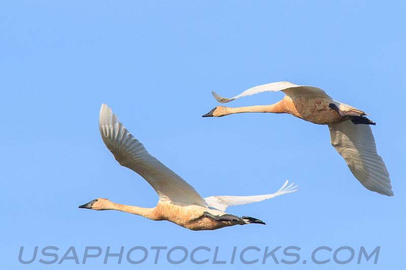 Trumpeter Swan (b2313)